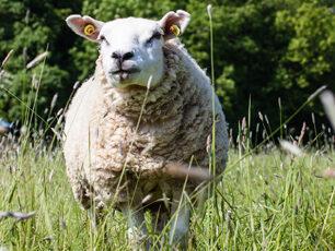 sheep at rock farm slane, glamping in slane